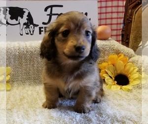 Main photo of Dachshund Dog Breeder near CORRYTON, TN, USA