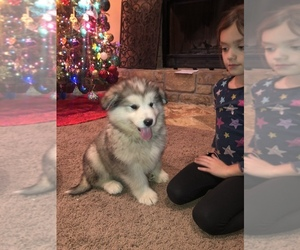 Alaskan Malamute Dog Breeder near HENNESSEY, OK, USA