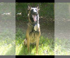 Belgian Malinois Dog Breeder in PALMHURST,  USA