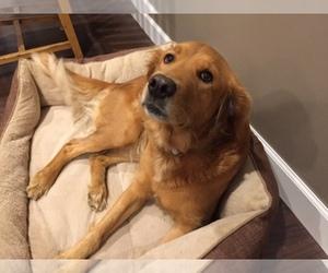 Main photo of Golden Retriever Dog Breeder near FRAZEE, MN, USA