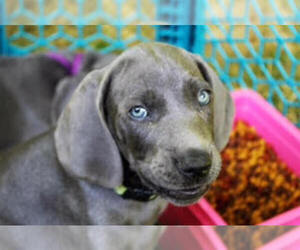 Weimaraner Breeder in BAILEY, MI, USA