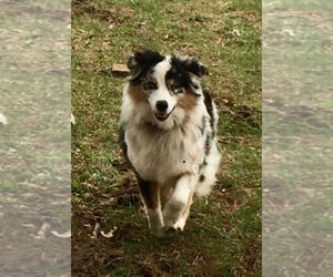 Main photo of Australian Shepherd Dog Breeder near LICKING, MO, USA