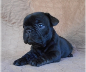 French Bulldog Breeder in MIAMI, FL