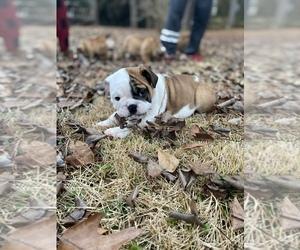Main photo of English Bulldog Dog Breeder near BUFORD, GA, USA