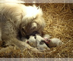 Great Pyrenees Breeder in NORA SPRINGS, IA, USA