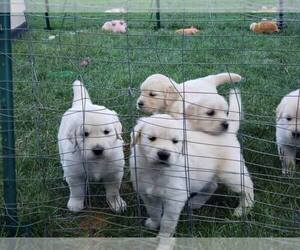 Main photo of Golden Retriever Dog Breeder near ARVADA, CO, USA