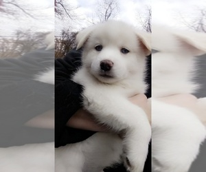 Main photo of Poshies-Siberian Husky Mix Dog Breeder near LATROBE, PA, USA