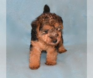 Lakeland Terrier Breeder in THEODOSIA, MO