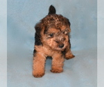 Lakeland Terrier Breeder in THEODOSIA, MO, USA