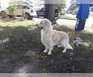 Main photo of Golden Retriever Dog Breeder near SAINT PETERSBURG, FL, USA