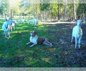 Catahoula Bulldog Dog Breeder near ELBERTA, AL, USA