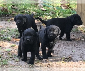 Main photo of Labrador Retriever Dog Breeder near CRAWFORDVILLE, FL, USA