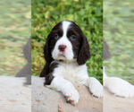English Springer Spaniel Breeder in RENICK, WV, USA