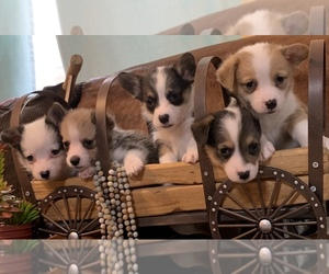 Main photo of Pembroke Welsh Corgi Dog Breeder near AUSTIN, TX, USA