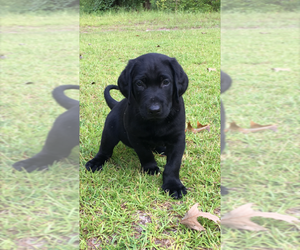 Labrador Retriever Breeder in BROOKLET, GA, USA