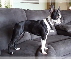 Boston Terrier Breeder in RISING FAWN, GA, USA
