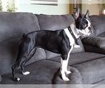 Boston Terrier Breeder in RISING FAWN, GA