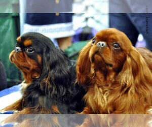 English Toy Cocker Spaniel Dog Breeder near SIMI VALLEY, CA, USA