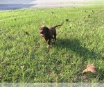Labrador Retriever Breeder in HEMPHILL, TX, USA