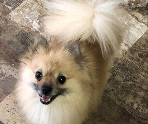 Pomeranian Dog Breeder in ANNISTON,  USA