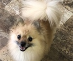 Pomeranian Breeder in ANNISTON, AL, USA