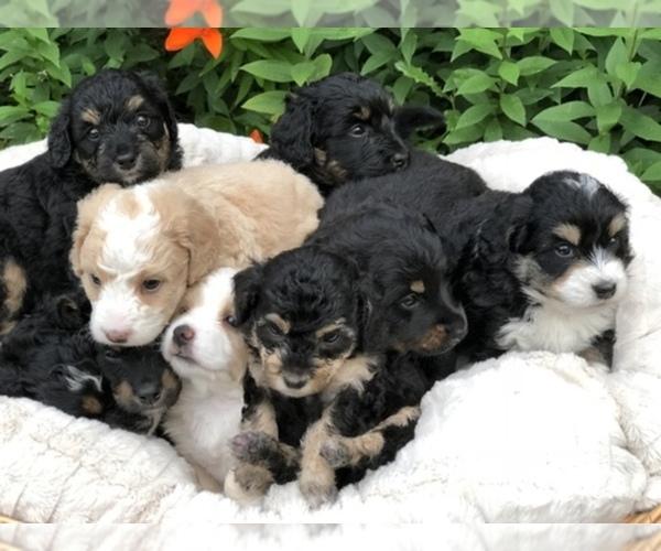 View Breeder Profile Bernedoodle Poodle Toy Mix Dog