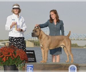 Main photo of Cane Corso Dog Breeder near BATTLE GROUND, WA, USA