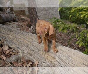 Main photo of Vizsla Dog Breeder near LAKE ARROWHEAD, CA, USA