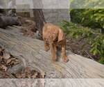 Vizsla Breeder in LAKE ARROWHEAD, CA, USA