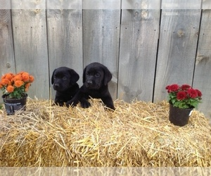 Labrador Retriever Dog Breeder in WYOMING,  USA