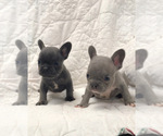 French Bulldog Breeder in NEWMAN, CA, USA