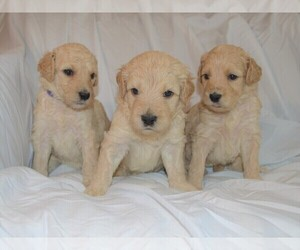 Goldendoodle Dog Breeder in DOWLING PARK,  USA