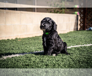 Goldendoodle Breeder in LA MESA, CA