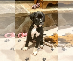 Main photo of Boxador-Boxer Mix Dog Breeder near CHERRY RUN, WV, USA
