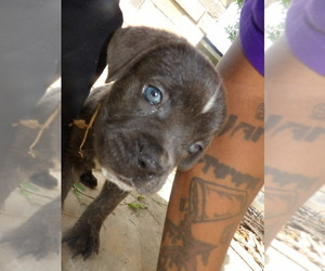 Main photo of Cane Corso Dog Breeder near MISSOURI CITY, TX, USA