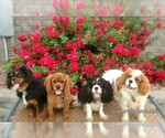 Cavalier King Charles Spaniel Breeder in WINDSOR LOCKS, CT, USA