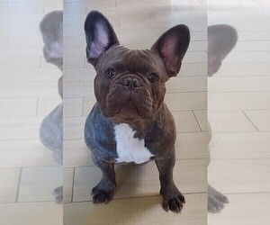 Main photo of French Bulldog Dog Breeder near SACRAMENTO, CA, USA