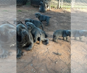 Main photo of Cane Corso Dog Breeder near ATLANTA, GA, USA