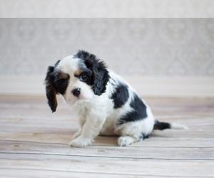 Cavalier King Charles Spaniel Dog Breeder in YANKTON,  USA