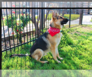 German Shepherd Dog Breeder in SAN ANTONIO, TX, USA