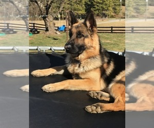 German Shepherd Dog Breeder in STAUNTON, VA