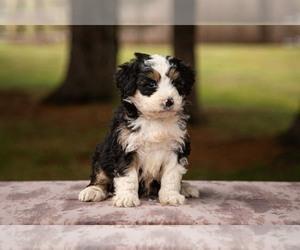 Goldendoodle Dog Breeder in GLENMOORE,  USA