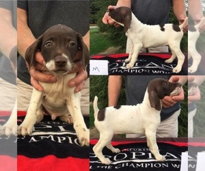 Main photo of German Shorthaired Pointer Dog Breeder near LOUISVILLE, OH, USA
