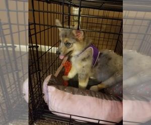Main photo of Pomsky-Poodle (Miniature) Mix Dog Breeder near INDIANAPOLIS, IN, USA