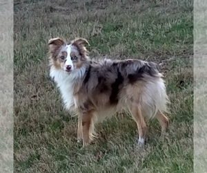 Main photo of Miniature Australian Shepherd Dog Breeder near AUSTIN, TX, USA