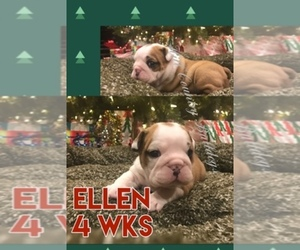 Main photo of Bulldog Dog Breeder near SAN ANTONIO, TX, USA