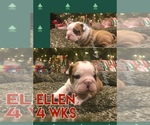 Bulldog Breeder in SAN ANTONIO, TX, USA