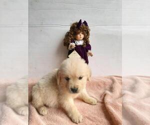 English Cream Golden Retriever Dog Breeder in HUNTSVILLE,  USA