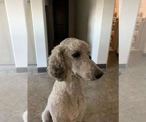 Poodle (Standard) Dog Breeder in PHOENIX,  USA