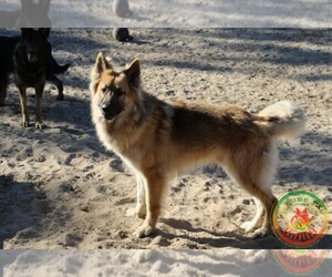 Main photo of German Shepherd Dog Dog Breeder near BROOKSVILLE, FL, USA